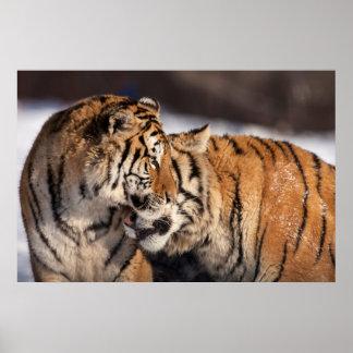 Poster Tigres montrant l'affection