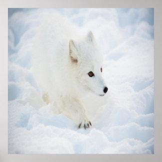 Poster Un petit renard arctique blanc mignon marchant