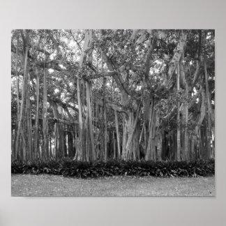 Poster Une photographie noire et blanche des banians