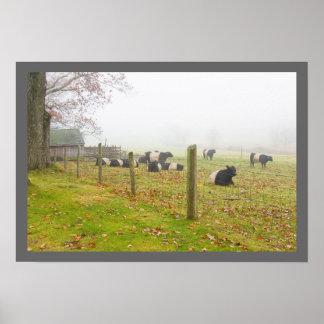 Poster Vaches ceinturées à Galloway dans Rockport Maine