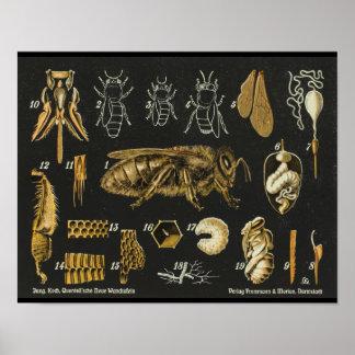 Poster vintage d'insecte d'anatomie d'abeille de