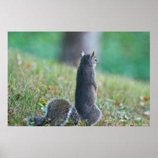 """Poster """"Vous manquant"""" affiche juvénile debout d'écureuil"""