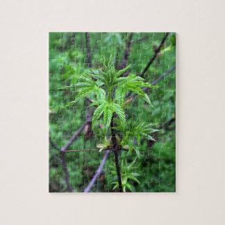 Puzzle de jeune plante de maronnier américain de