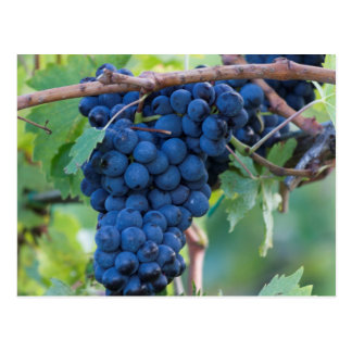 raisin et vignoble carte postale
