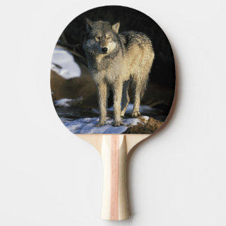Raquette Tennis De Table L'Amérique du Nord, Etats-Unis, Minnesota. Loup