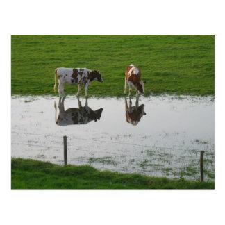 Réflexions de vaches en carte postale de l'eau