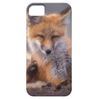 renard rouge, vulpes de Vulpes, chiot se rayant, Étui iPhone 5