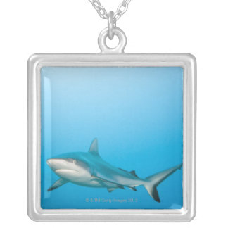 Requins gris de récif (amblyrhnchos de collier