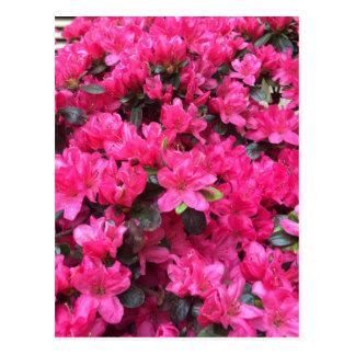 rhododendron fuchsia d'azalées carte postale