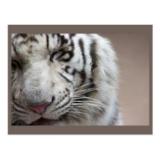 Rire du tigre blanc carte postale