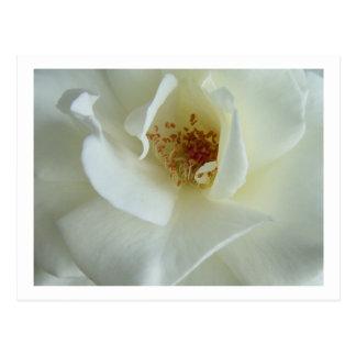 Rose blanc carte postale