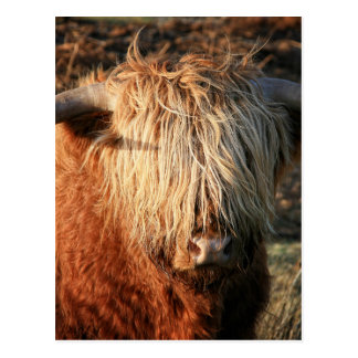 Scottish Highland Cow - Scotland Carte Postale