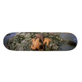 Seastars ocre Pisaster) Shi-Shi ochraceous Plateaux De Skateboards Customisés