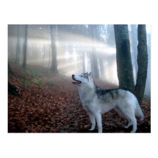 Siberian Husky - carte postale