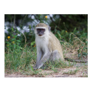 Singe de Vervet, Botswana, Afrique, carte postale