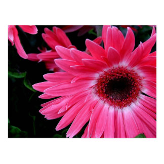 Soleil rose cartes postales