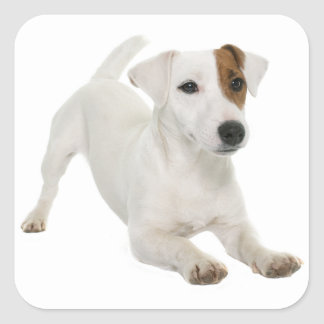 Sticker Carré Blanc Brown de chiot de Jack Russell Terrier