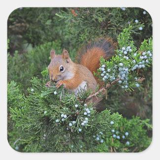 Sticker Carré Écureuil rouge