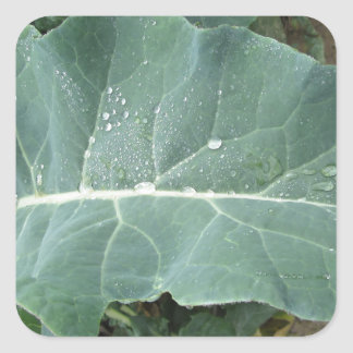 Sticker Carré Gouttes de pluie sur le feuille de chou-fleur