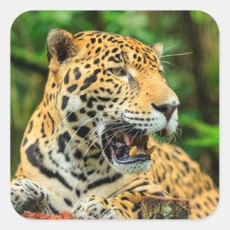 Sticker Carré Jaguar montre ses dents, Belize