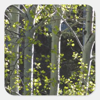 Sticker Carré Jeunes arbres d'Aspen