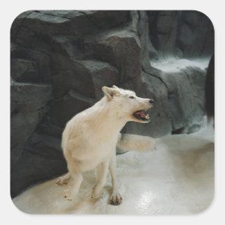 Sticker Carré Loup blanc