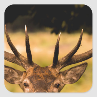 Sticker Carré mâle de parc de richmond