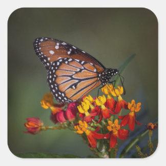 Sticker Carré Papillon de reine sur le milkweed tropical