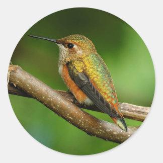 Sticker Rond Beau colibri Rufous sur les vignes de enroulement