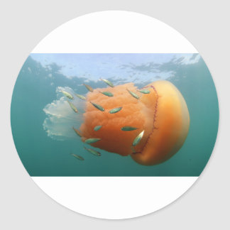 Sticker Rond La méduse de baril nage avec le maquereau