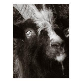 Style ancien de portrait de chèvre de Bagot - Cartes Postales