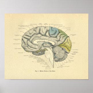 Surface anatomique vintage de médiane de cerveau poster