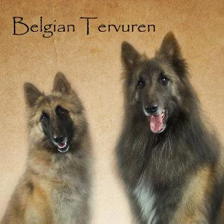 Belgian Tervuren