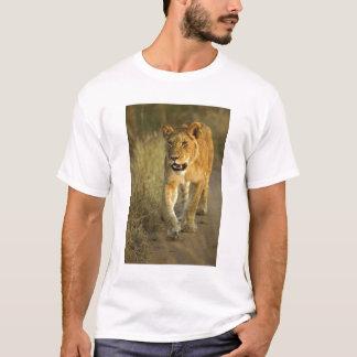 T-shirt Lion femelle marchant au coucher du soleil, masai