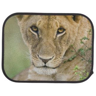 Tapis De Sol Lion, Panthera Lion, masai Mara, Kenya