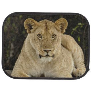 Tapis De Sol Lion, Panthera Lion, parc national de Serengeti,