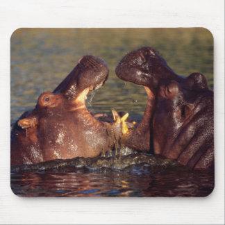 Taureaux d'hippopotame (hippopotame Amphibius) Tapis De Souris