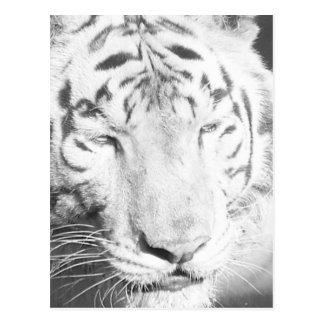 Tigre blanc 1 carte postale