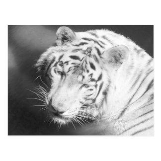 Tigre blanc 2 cartes postales
