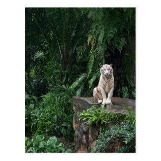 Tigre blanc dans la jungle cartes postales