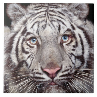 Tigre blanc grand carreau carré