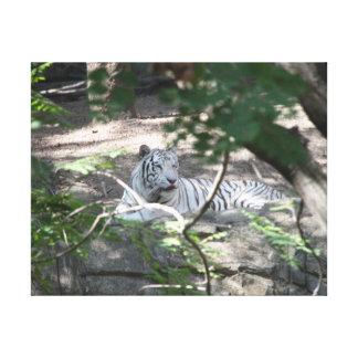 Tigre blanc toiles