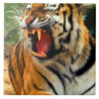 tigre grand carreau carré