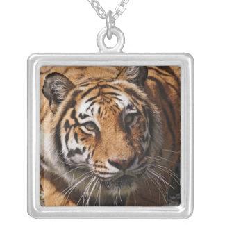 Tigre de Bengale, Panthera le Tigre 3 Collier