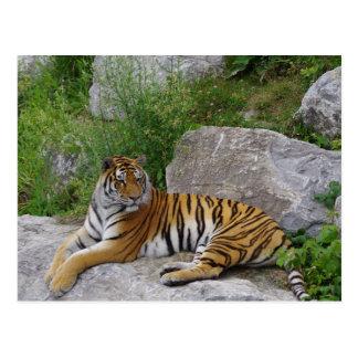 Tigre sibérien détendant sur une roche carte postale