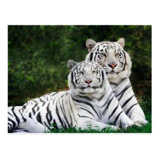 Tigres blancs carte postale