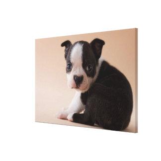 Toile Chiot très jeune de Boston Terrier