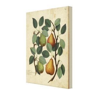 Toile Illustration botanique de fruit de poire vintage