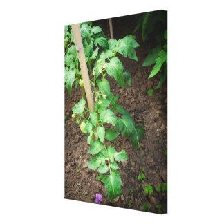 Toile Plante de tomate