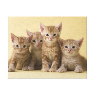 Toile Quatre chatons de Shorthair d'Américain